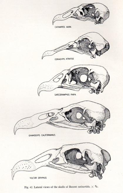 comparing skulls  u2013 pseudogryps