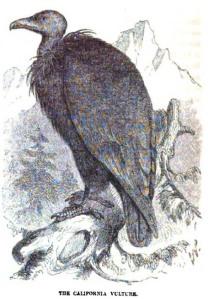 08 Cassin 1856