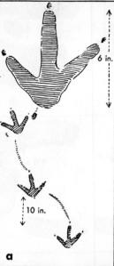 02a Murie 1954 - a