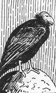 02b Murie 1954 - b
