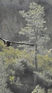 07 Gray pine & condor