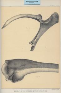 07 Coracoid Scapula Humerus