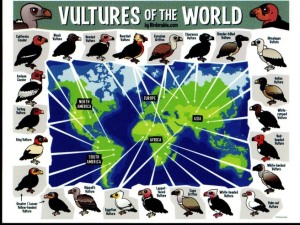 08a Postcard - Birdorable - vultures of the world